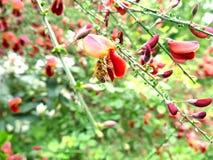 Abeja con la cesta que lleva del polen, chupando el néctar fuera de Scot Fotos de archivo libres de regalías