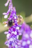 Abeja con la flor Imagen de archivo libre de regalías