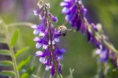 Abeja con la flor Fotos de archivo