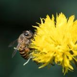 Abeja con la flor amarilla Fotos de archivo