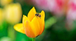 Abeja con la flor amarilla del lirio Imágenes de archivo libres de regalías