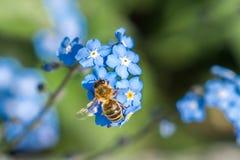 Abeja con la flor azul Imágenes de archivo libres de regalías