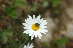 Abeja con la flor blanca Fotos de archivo libres de regalías