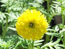 Abeja con la flor de la maravilla Fotos de archivo libres de regalías