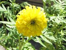 Abeja con la flor de la maravilla Imágenes de archivo libres de regalías