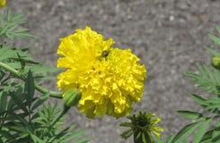 Abeja con la flor de la maravilla Foto de archivo libre de regalías