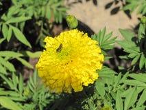 Abeja con la flor de la maravilla Imagen de archivo libre de regalías