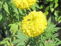 Abeja con la flor de la maravilla Foto de archivo