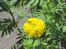 Abeja con la flor de la maravilla Imagen de archivo