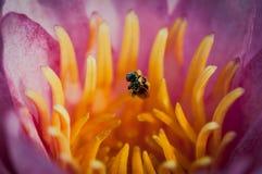 Abeja con la flor del lirio de agua Imagen de archivo libre de regalías