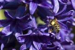 Abeja con la flor púrpura brillante Fotos de archivo libres de regalías