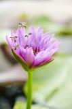 Abeja con la floración del flor del loto Imagen de archivo libre de regalías