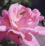 Abeja con la rosa del rosa Imagen de archivo