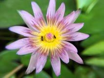 Abeja con las flores de loto en el agua Imagen de archivo libre de regalías