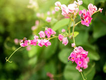 Abeja con las flores rosadas Foto de archivo