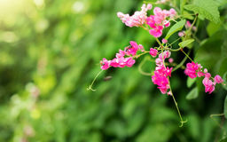 Abeja con las flores rosadas hermosas Fotografía de archivo libre de regalías