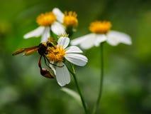 Abeja con las flores salvajes blancas de la margarita Imagen de archivo