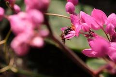 Abeja con las flores y la sol rosadas Imagenes de archivo