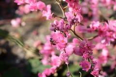 Abeja con las flores y la sol rosadas Imágenes de archivo libres de regalías