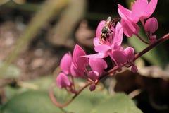 Abeja con las flores y la sol rosadas Imagen de archivo
