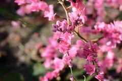 Abeja con las flores y la sol rosadas Imagen de archivo libre de regalías