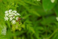 Abeja con las pequeñas flores blancas Fotos de archivo libres de regalías