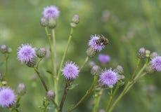 Abeja con los bolsos del polen Fotos de archivo