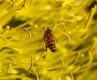 Abeja con los sacos del polen en sus pies Imagenes de archivo