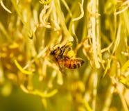Abeja con los sacos del polen en sus pies Imagen de archivo libre de regalías