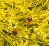 Abeja con los sacos del polen en sus pies Foto de archivo