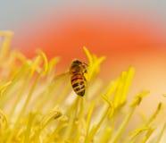 Abeja con los sacos del polen en sus pies Imágenes de archivo libres de regalías