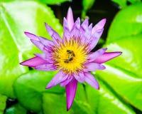 Abeja con loto. Foto de archivo