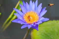 Abeja con loto azul Fotos de archivo