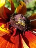 Abeja con polen Fotografía de archivo libre de regalías
