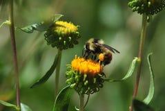 Abeja con polen Imagen de archivo libre de regalías