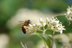 Abeja con polen Fotos de archivo libres de regalías