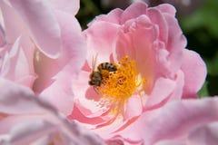 Abeja con polen Imágenes de archivo libres de regalías