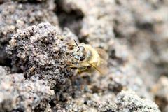 Abeja con polen Foto de archivo