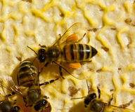 Abeja con polen de la flor Imágenes de archivo libres de regalías