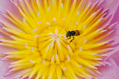 Abeja con polen del loto Imagen de archivo