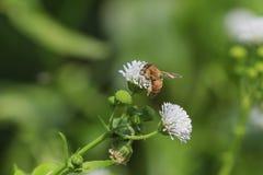 Abeja con polen en su pierna que trabaja en una flor blanca Fotos de archivo libres de regalías