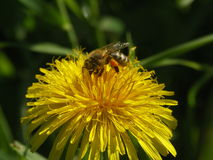 Abeja con polen en un oduvanichika de la flor Fotos de archivo