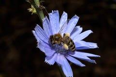 Abeja con polen en una flor de la achicoria Foto de archivo