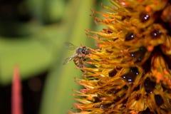 Abeja con polen mojado Imagenes de archivo