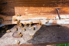 Abeja con polen que inscribe en la colmena Foto de archivo