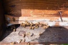 Abeja con polen que inscribe en la colmena Fotos de archivo libres de regalías
