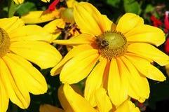 Abeja con una flor Foto de archivo libre de regalías