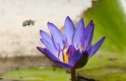 Abeja congregada azulverde en vuelo Imágenes de archivo libres de regalías