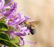 Abeja congregada en flor púrpura Imagenes de archivo