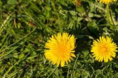Abeja cubierta con polen Imágenes de archivo libres de regalías